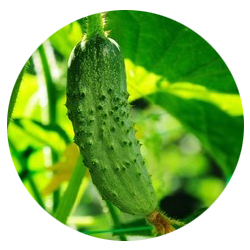 concombre nature.jpg