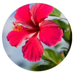 fleur dhibiscus nature.jpg