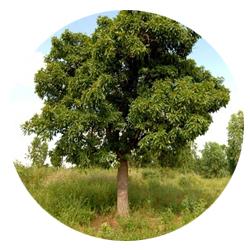 karité arbre.jpg