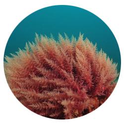 photo algue coralline.jpg