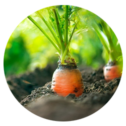 photo carotte en terre.jpg